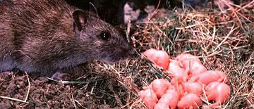 Nido de ratas - control de plagas - Sanitersur