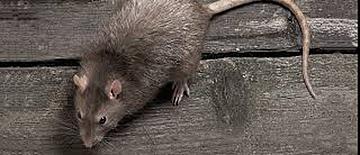 Rata común - control de plagas - sanitersur