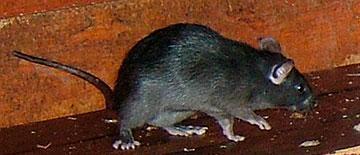 Rata negra - Control de plagas - Sanitersur