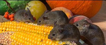 Propagación-Ratas - Control de Plagas - Sanitersur