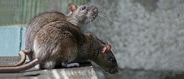 Colonia de ratas - Control de Plagas - Sanitersur